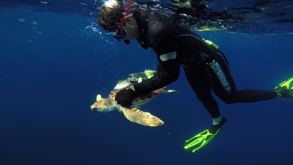 Rana, the Caouanne turtle is back in the sea